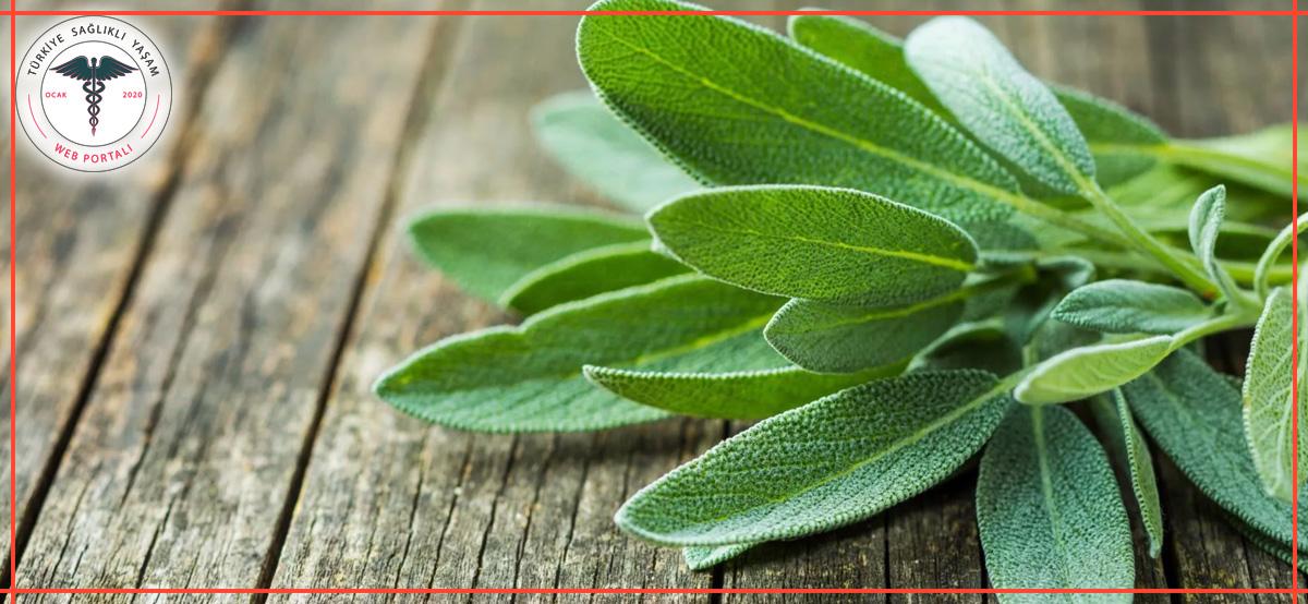 adaçayı bitkisi, adaçayı, adaçayları, yeşil adaçayı,